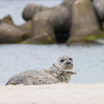 Mávající tuleň