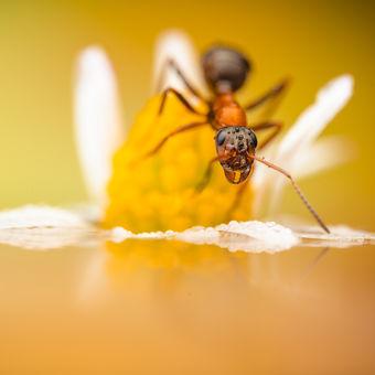 Mravenec průzkumník