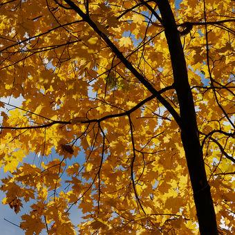 žltá jesenná hovadina