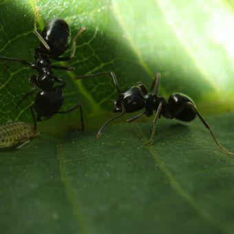 mravenčí pastýři