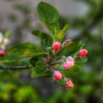 Rozkvetla jabloň