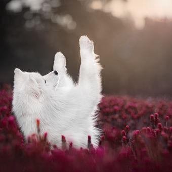 Polární pes za jarního slunečního svitu