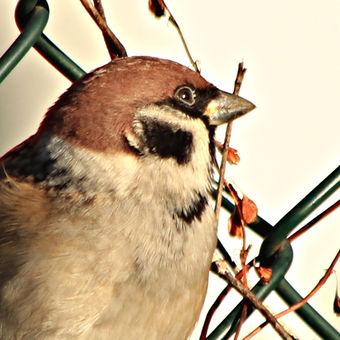 vrabec na drátě