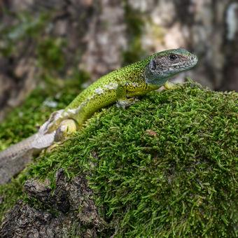 Ještěrka zelená