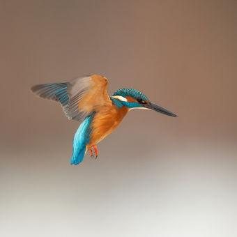 Kolibřík ...