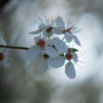 Čas rozkvetlých stromů