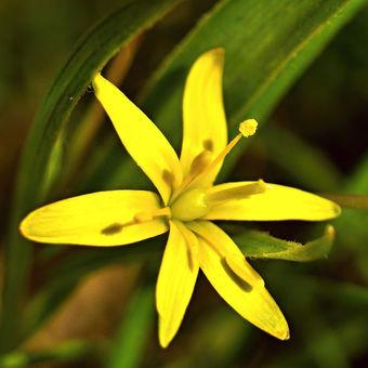 Žlutý kvíteček - Křivatec luční