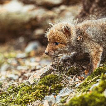 Malá liška, veký les...