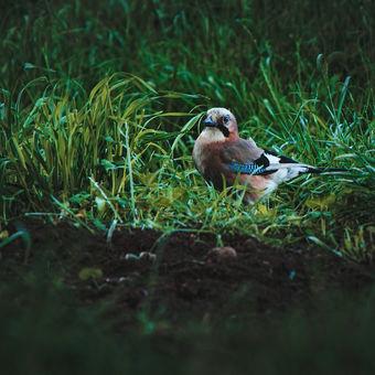 Sojka Obecná v trávě