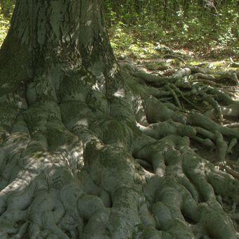 Kořeny v Hukvaldské oboře