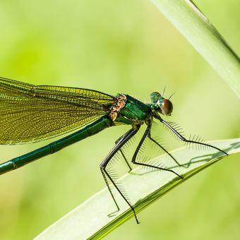 motýlice lesklá - samička
