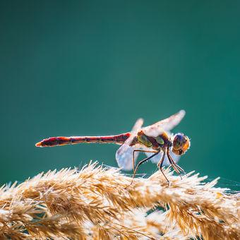 Vážka žíhaná