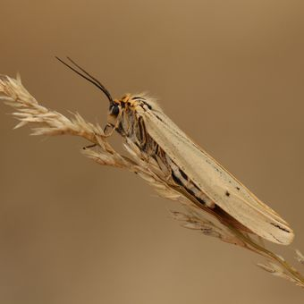Přástevník jestřábníkový (Spiris striata)