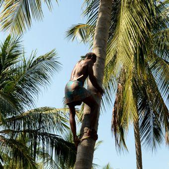Sklizeň kokosů