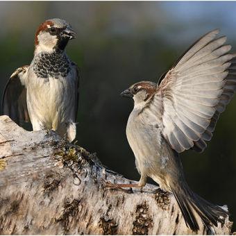 Vrabčáci