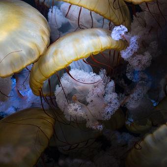 Medúzy
