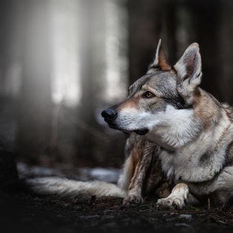 Czechoslovakian wolfdog Aila