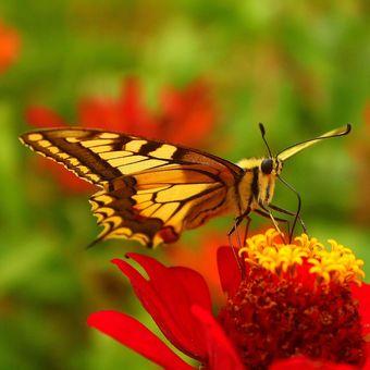 Otakárek fenyklový (Papilio machaon)