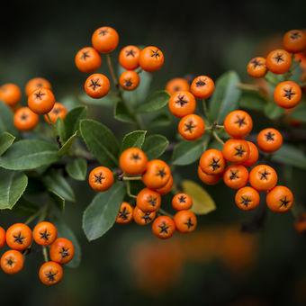 Oranžové perly