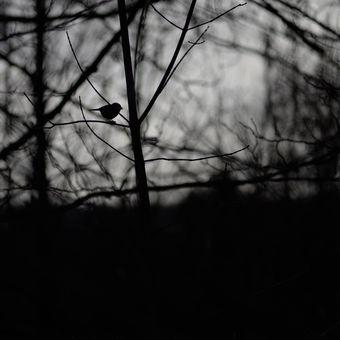 Pták v trní