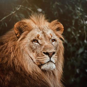 Lev konžský (Panthera leo bleyenberghi)