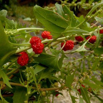 Malý obrazový atlas rostlin: Merlík listnatý