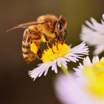 Včelička medonosná