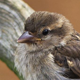 Vrabec domaci - samička