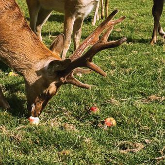 jelení na jablkách