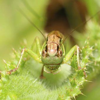 Kobylka luční (Metrioptera roeselii)