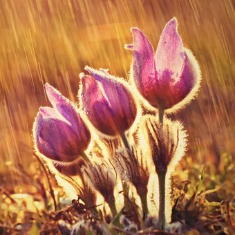 Tři v dešti - Koniklec velkokvětý (Pulsatilla grandis)