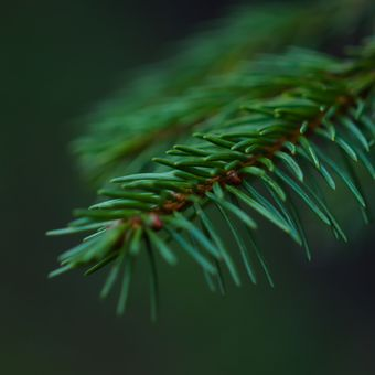 Smrková větvička