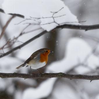 """Červenka """"v zajetí sněhu""""..."""