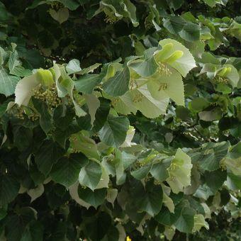 Malý obrazový atlas rostlin: Lípa plstnatá