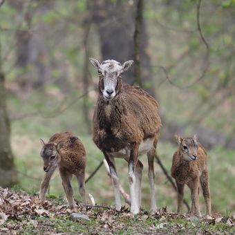 Z rodinného mufloního alba