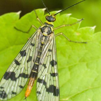 srpice - samička