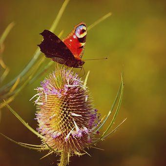 Motýl na bodláku