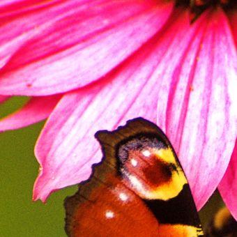 motýlkov III