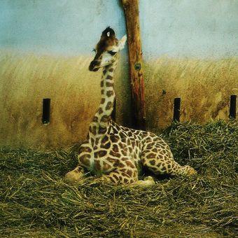 Žirafí mimčo