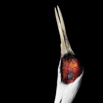 Jeřáb bělošíjí (GRUS VIPIO)