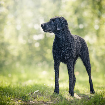 Bibi - Curly-coated retriever