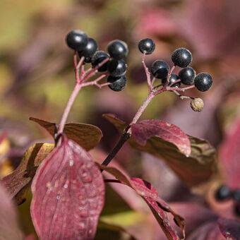 Podzimní zátiší s bobulemi