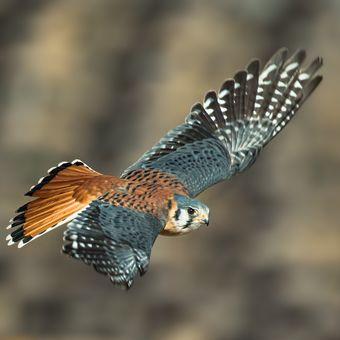 Poštolka pestrá (Falco sparverius)