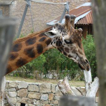Smutná žirafa