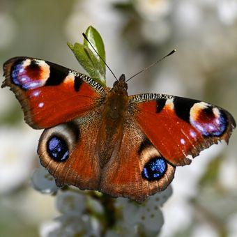 Motýl na třešni