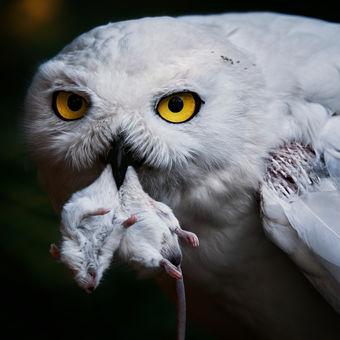 Sovice sněžní ( Bubo scandiacus )