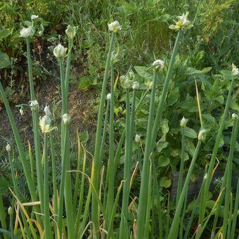 Malý obrazový atlas rostlin: Cibule prorůstavá