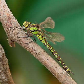 Šídlo modré - samička