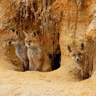 zvědavá  štěňata  - Liška obecná (Vulpes vulpes)