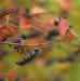 Podzimní jeřabiny